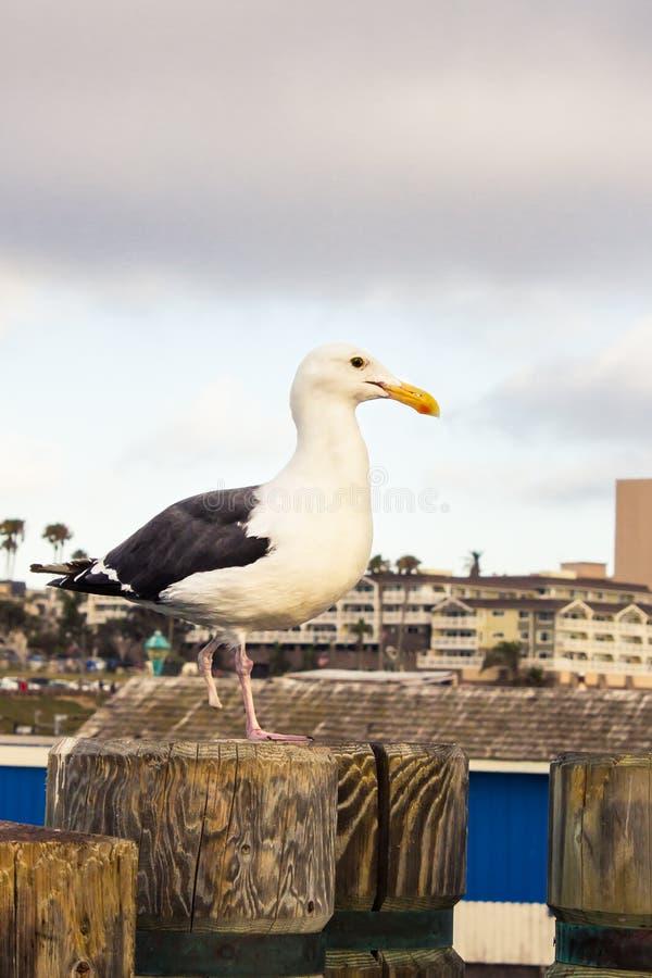 Zakończenie Zdradzona Seagull pozycja na Jeden nodze fotografia stock