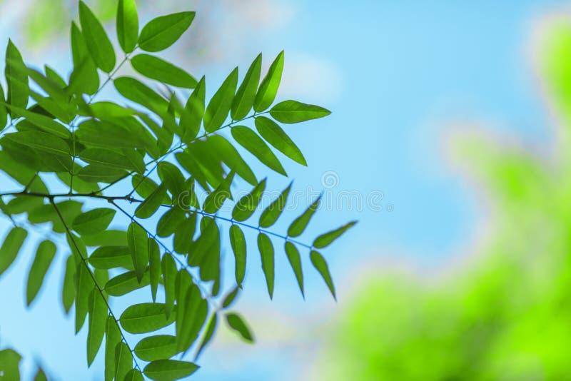 Zakończenie zieleni liście na niebieskiego nieba tle Kolorowy ulistnienie na cienkich gałąź Piękny park w lecie Zadziwiająca ekol obrazy stock