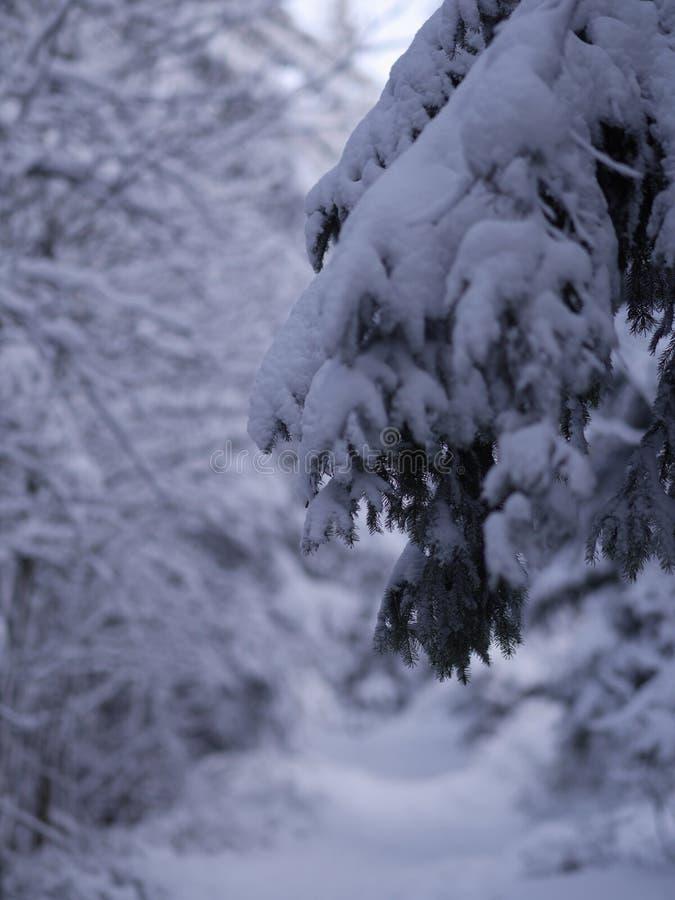 Zakończenie zimy jodły gałąź fotografia royalty free