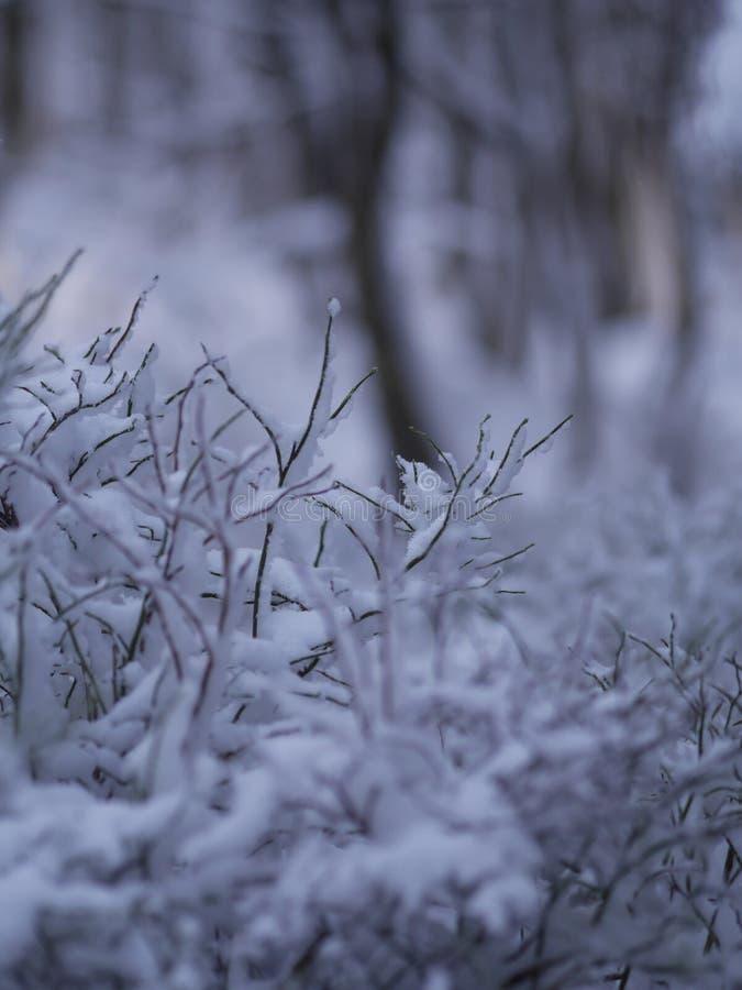 Zakończenie zimy jodły gałąź zdjęcia royalty free