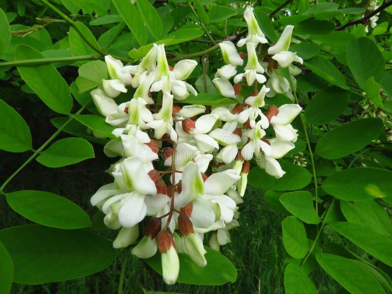 zako?czenie kwitnie pseudoacacia raceme grochodrzewy grochodrzew Kwitnąć kwiaty biały akacjowy drzewo w parku w wiośnie fotografia stock