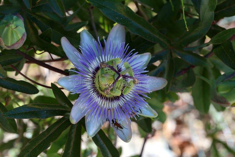 Zako?czenie up pasyjnej owoc kwiat w lecie fotografia stock