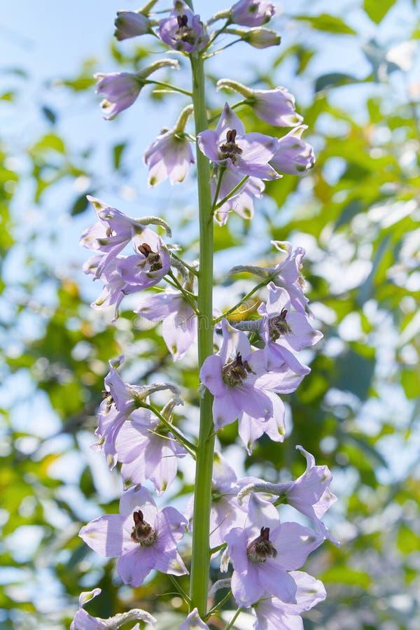 Zako?czenie w g?r? delphinium elatum kwiatu w kwiacie obrazy stock