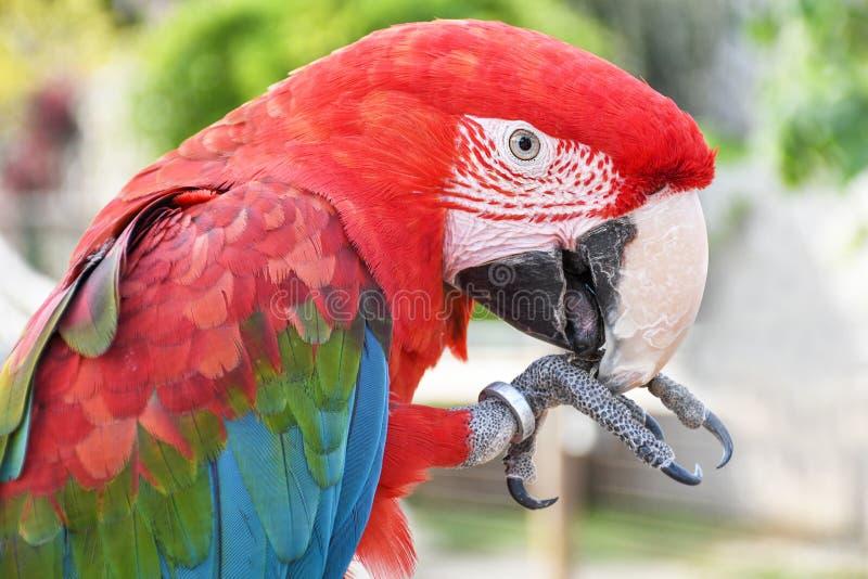 Zako?czenie w g?r? kierowniczego kr?tkop?du portreta kolorowy papugi zieleni skrzyd?a ary szkar?at zdjęcia royalty free