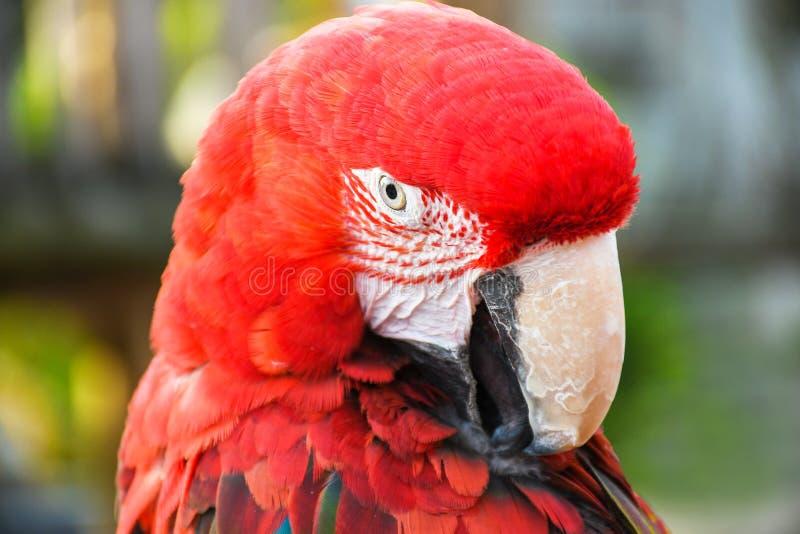 Zako?czenie w g?r? kierowniczego kr?tkop?du portreta kolorowy papugi zieleni skrzyd?a ary szkar?at fotografia royalty free