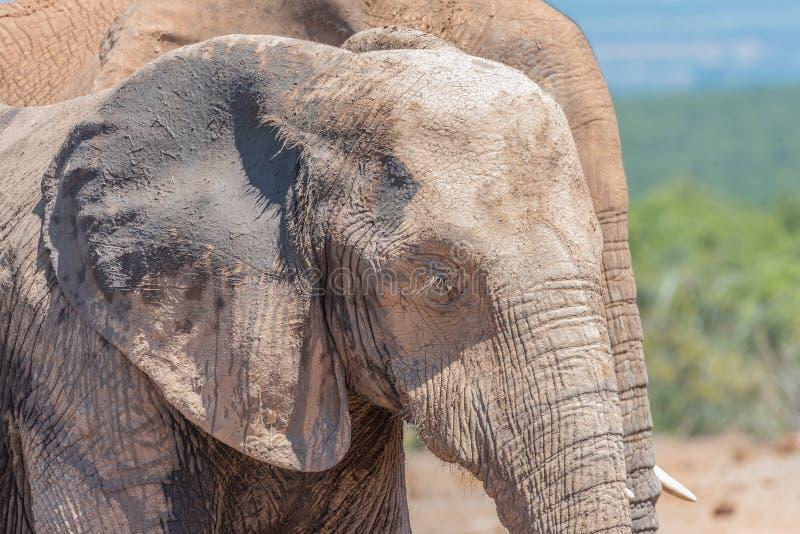 Zakrywająca twarz Afrykański słoń obrazy royalty free