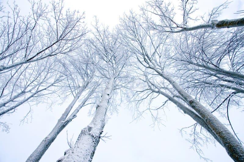 zakrywający śnieżni drzewa obraz stock
