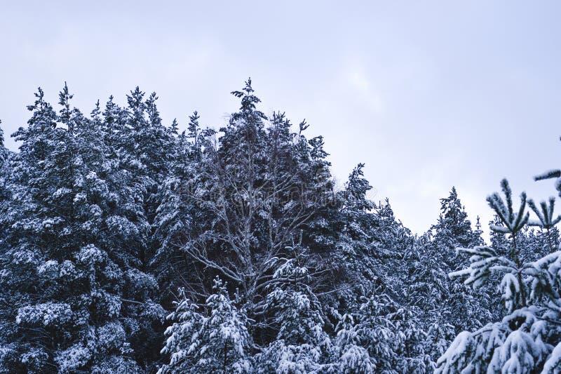 zakrywający śniegu świerczyny drzewa Tło zdjęcie royalty free