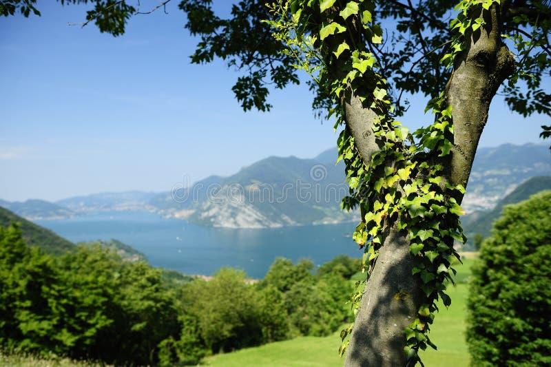 zakrywający bluszcza jeziora drzewo fotografia stock