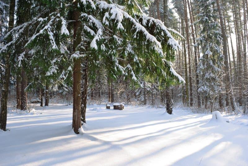 zakrywający jodły śniegu drzewo zdjęcie royalty free