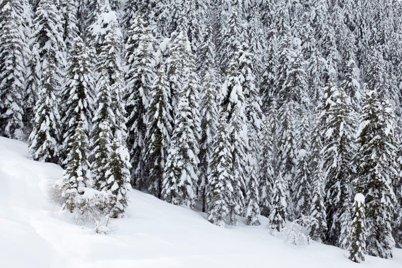 zakrywający lasowi sosny śniegu drzewa obraz stock