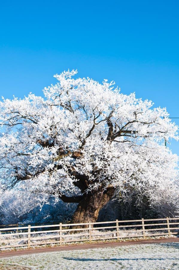 zakrywający lodowy dębu schronienia drzewo obrazy royalty free