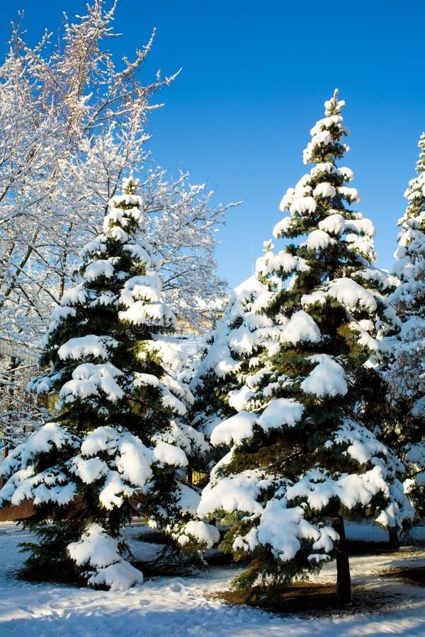 zakrywający sosny śniegu drzewa obrazy stock