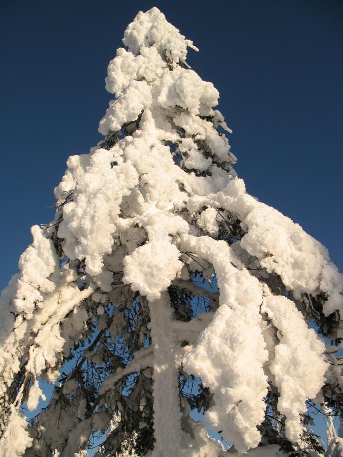 zakrywający wiecznozielony ciężki qc śniegu wierzchołka drzewo zdjęcia royalty free