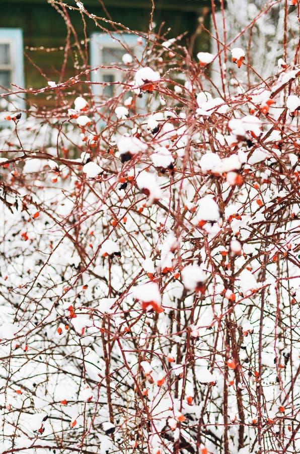 Zakrywający z śniegu psa różanymi krzakami z czerwonymi jagodami w zimie zdjęcia stock