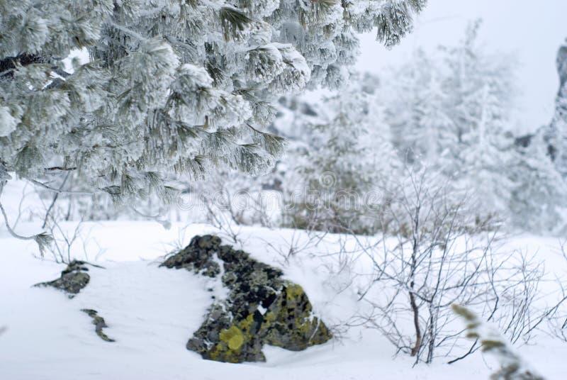 Zakrywający z mrozowymi gałąź cedr na mroźnym zima dniu fotografia stock