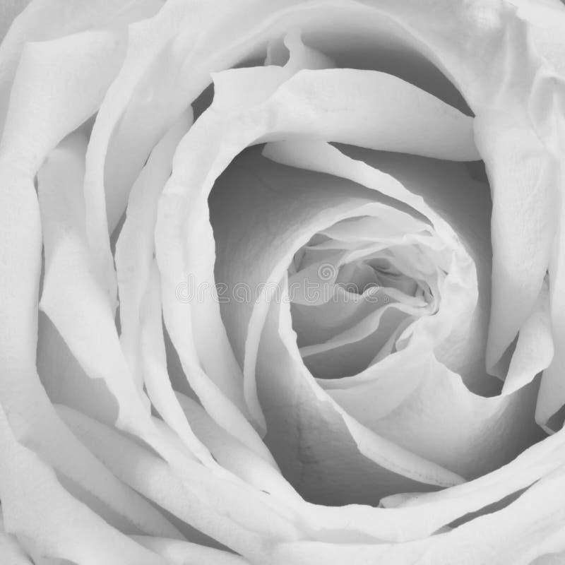 Zakurzony Różany tło - kwiat Akcyjne fotografie fotografia stock