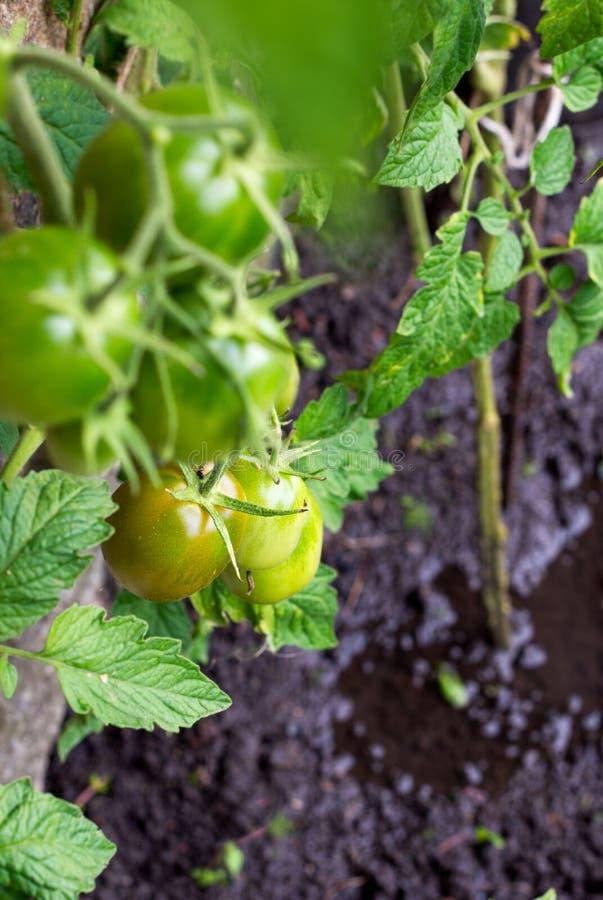 Zalewać tomatoe rośliny w polu zdjęcia stock