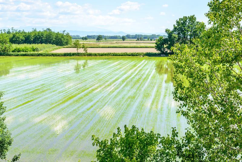 Zalewający ryż pola z roślinami (Włochy) zdjęcie royalty free