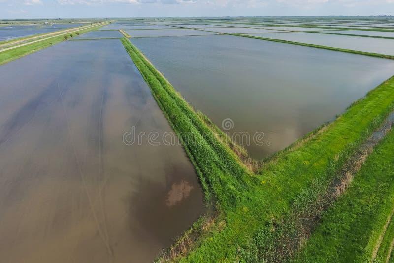 Zalewający ryżowi irlandczycy Agronomic metody rosnąć ryż fotografia royalty free