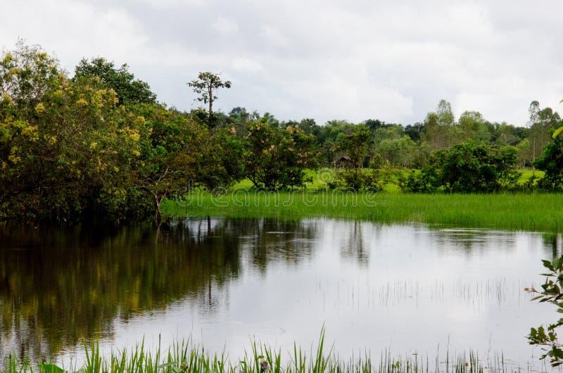 Zalewający ryżowy hodowlany rolnictwo Tajlandia zdjęcie stock