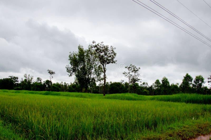 Zalewający ryżowy hodowlany rolnictwo Tajlandia obraz stock