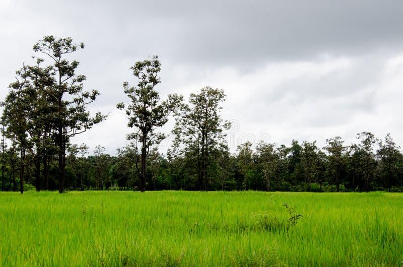 Zalewający ryżowy hodowlany rolnictwo Tajlandia fotografia stock