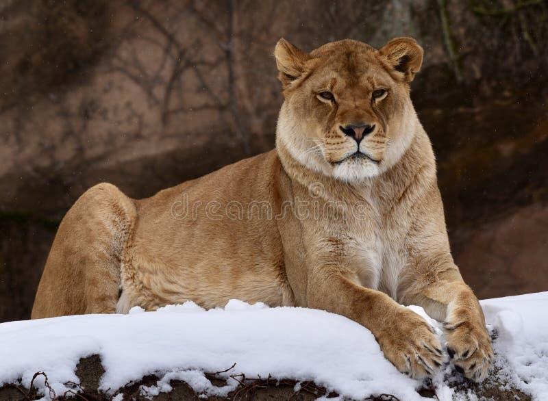 Zalika in de Sneeuw royalty-vrije stock fotografie