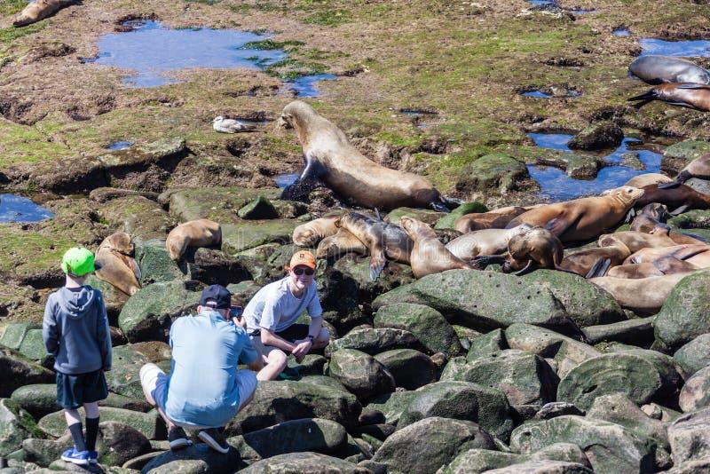 Zalophus Californianus de los leones marinos de California en La Jolla imagen de archivo