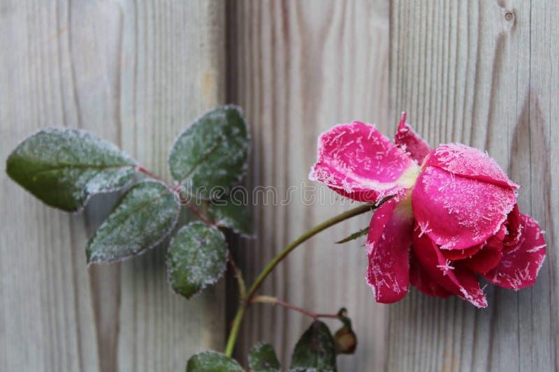 Zamarznięta menchii róża fotografia stock