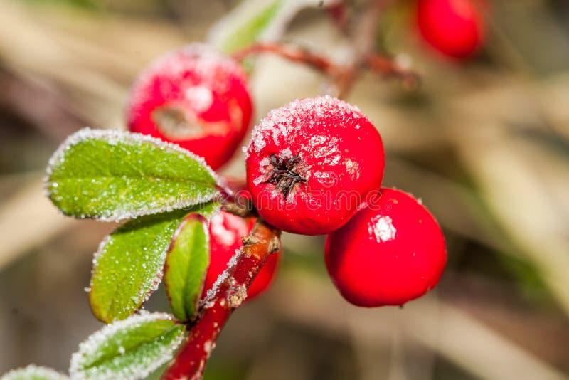 Zamarznięty uświęcony berrie zdjęcia stock