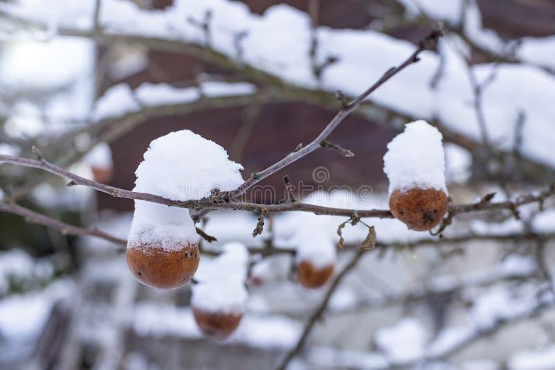 Zamarznięci, śnieżyści jabłka które no zbierają w spadku, z przykrością zrozumienie na gałąź w wioska ogródzie na zamazanym obrazy royalty free