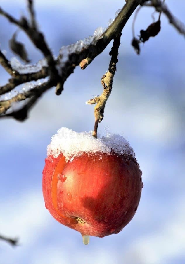 zamarznięci jabłka w jabłczanym sadzie na zimnym pogodnym Grudnia morinig zdjęcie royalty free