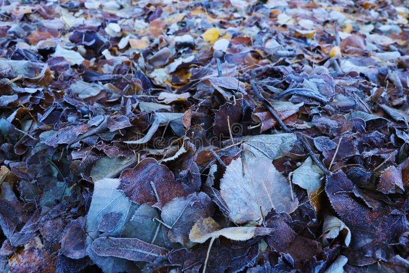 Zamarznięci liście na trawie, ziemia mróz na ranku polu, wczesna zima, tło zdjęcia royalty free