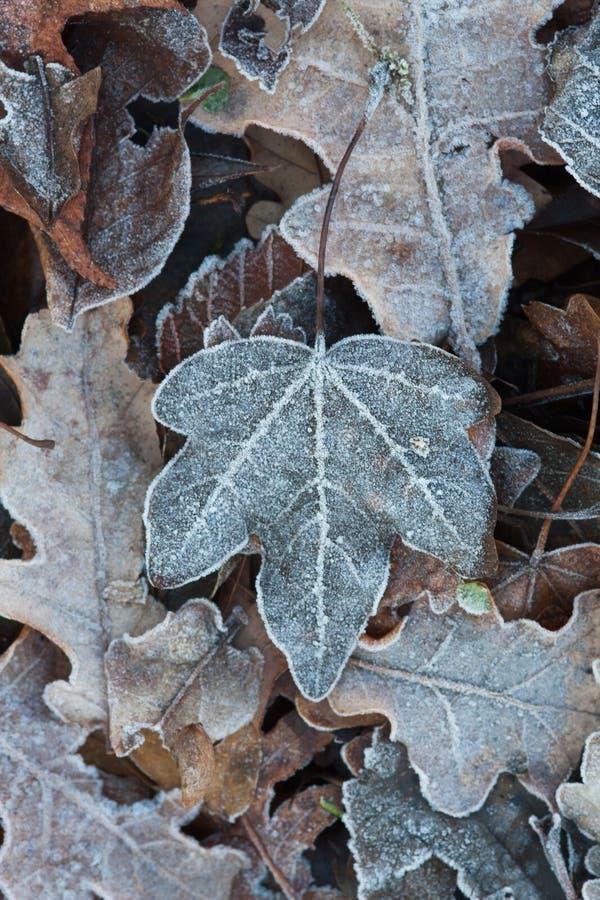 Zamarznięci liście w mój ogródzie, walkower jesień, cześć zima obrazy royalty free