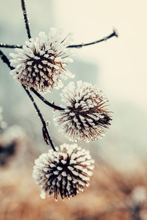 Zamarznięta roślina zakrywająca z hoarfrost obrazy stock
