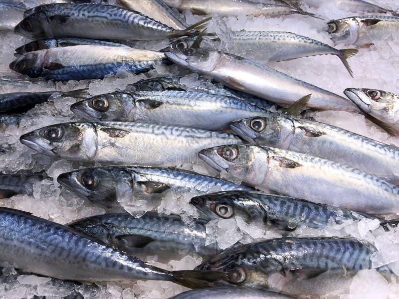Zamarznięta Saba makrela zdjęcie stock