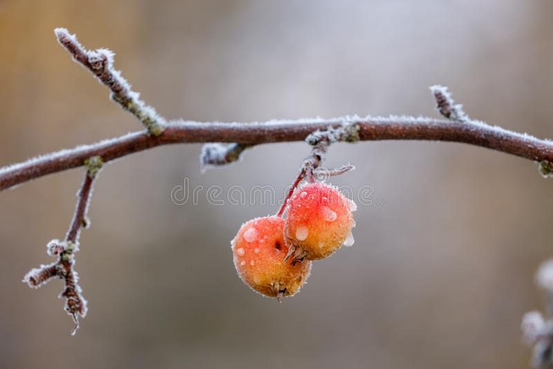 Zamarznięte crabapple owoc fotografia royalty free