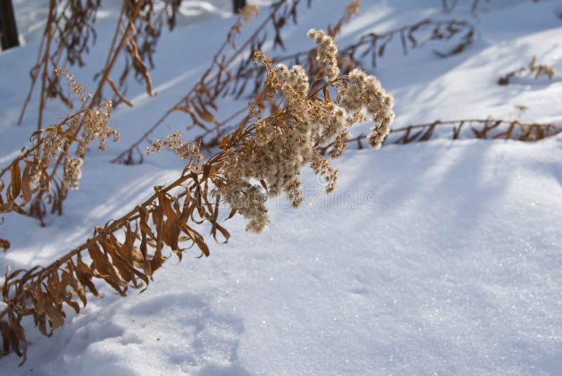 Zamarznięte gałąź milfoil pod śniegiem fotografia stock