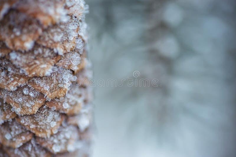 Zamarznięte iglaste gałąź z zamarzniętym rożkiem w białej zimie, zimy tło fotografia royalty free