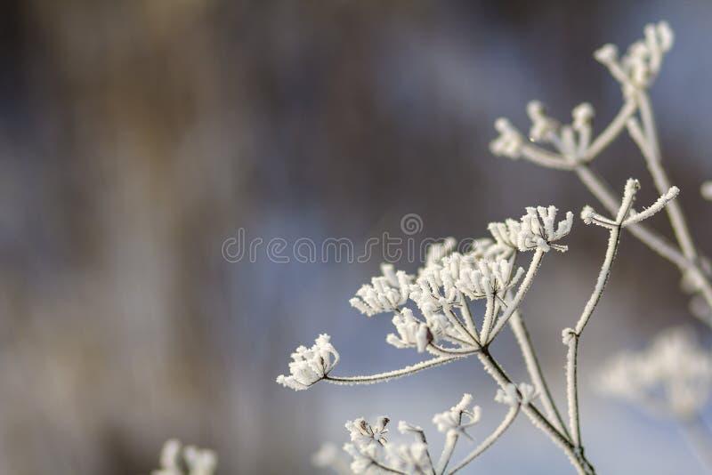 Zamarznięte rośliny w wczesnego poranku zakończeniu up w zimie obraz stock