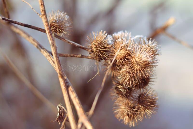 Zamarznięte rośliny w zimie obraz royalty free