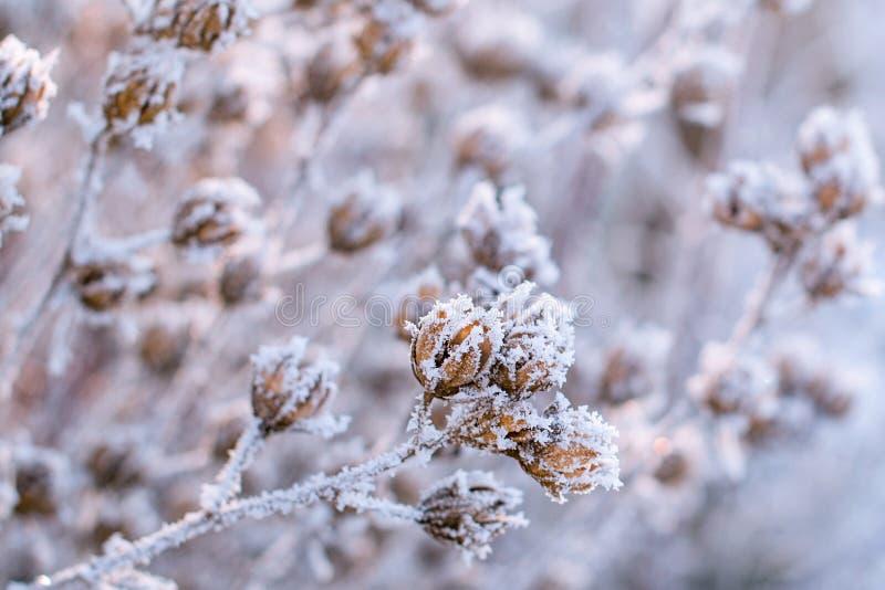 Zamarznięte rośliny w zimie E r najpierw zdjęcie stock