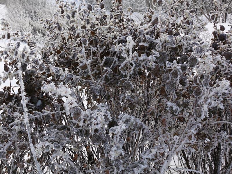 Zamarznięte rośliny w zimie E r najpierw fotografia royalty free