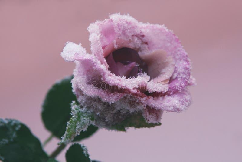 Zamarzniętej róży kwiatu zimy Makro- sezon zdjęcia stock