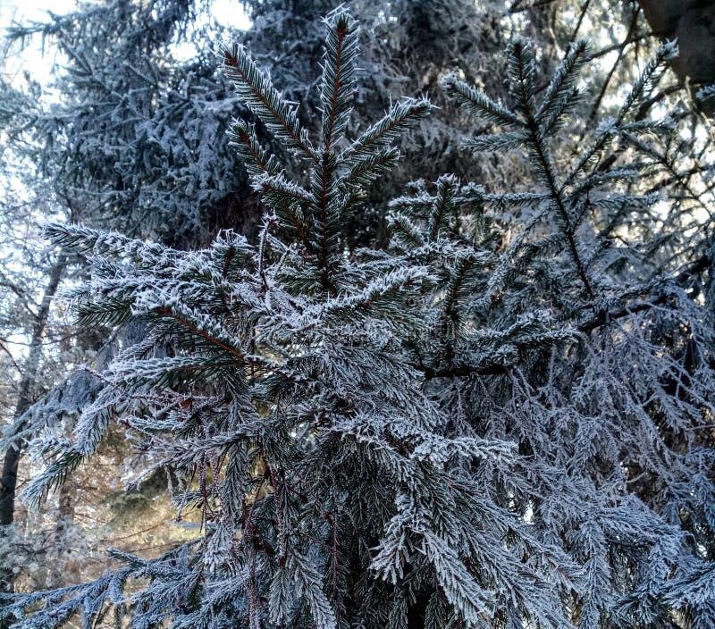 Zamarznięty drzewo od Vatra Dornei obrazy stock