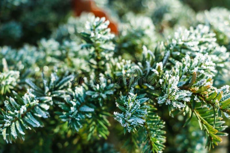 Zamarznięty i zakrywający z mrozową sosny gałąź na wczesnym zima ranku, zakończenie w górę widoku obraz stock