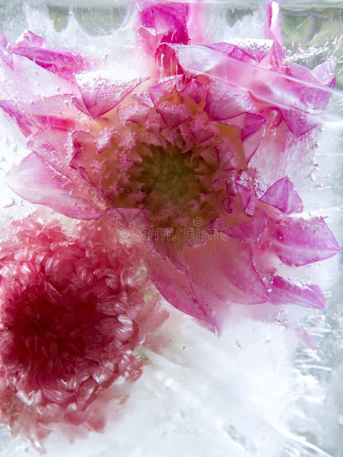 Zamarznięty kwiat Georgina obrazy royalty free