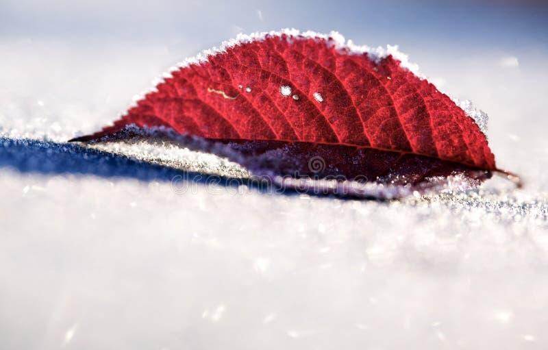 zamarznięty liść czerwieni śnieg obraz stock