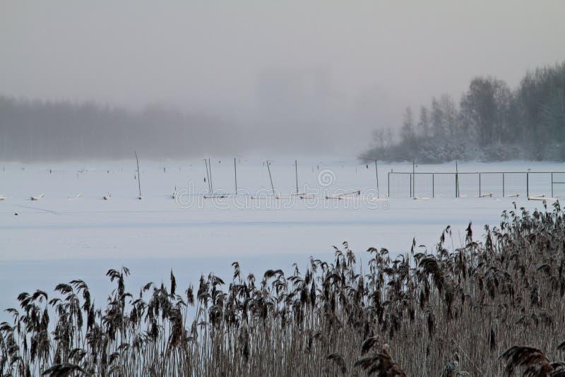 Zamarznięty mgłowy jeziorny brzeg z suchymi płochami obrazy stock